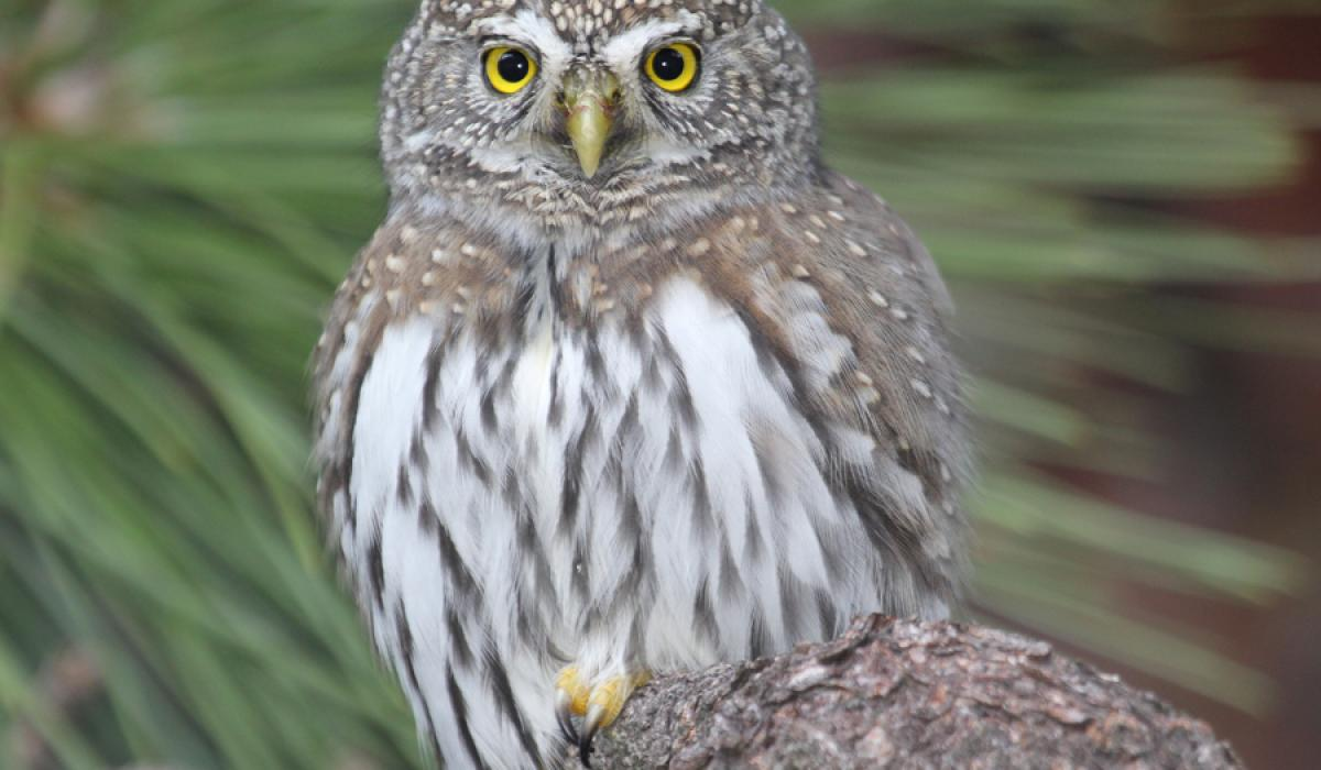 photo of Northern Pygmy-Owl