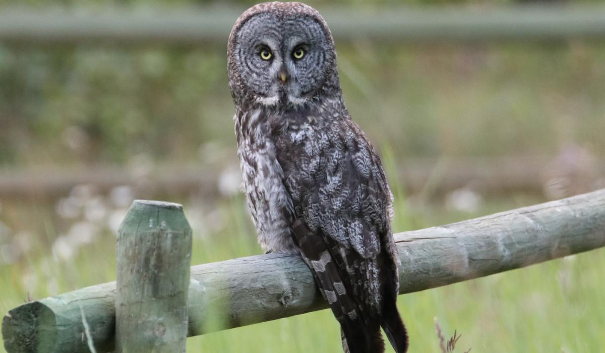 Great Gray Owl. British Columbia (C) 2020 Chris Charlesworth