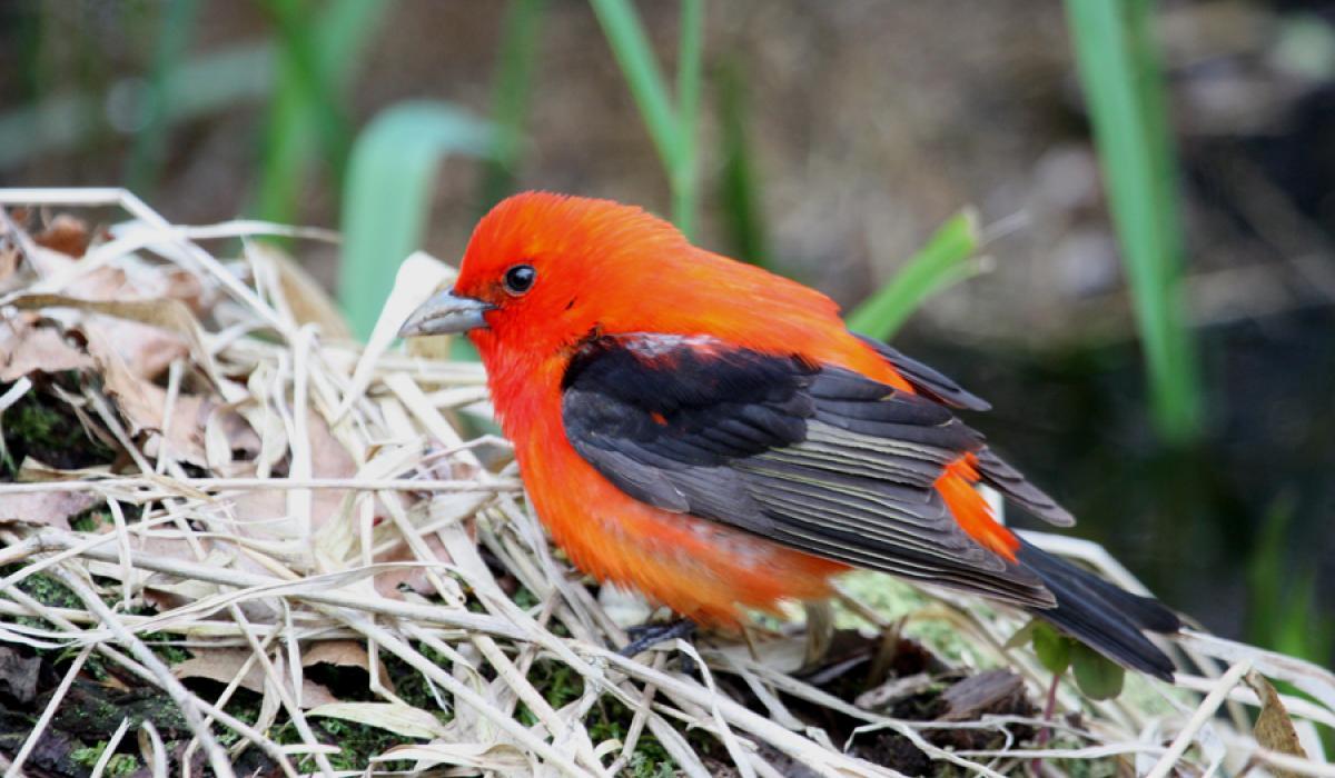 Scarlet Tanager. Point Pelee, Ont. (c) Chris Charlesworth