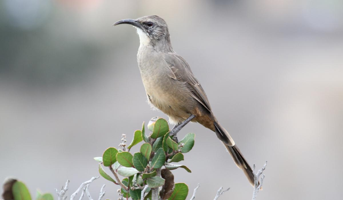 photo of California Thrasher