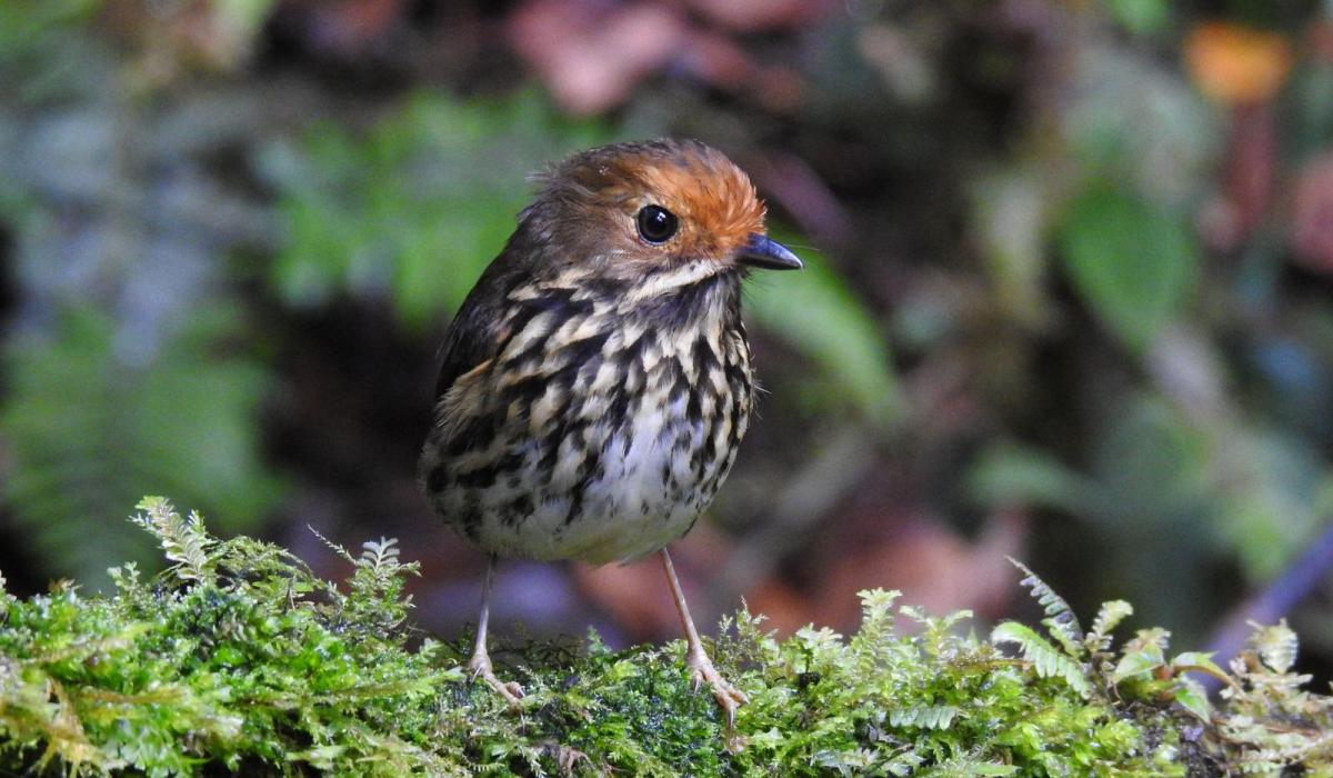 Ochre-fronted Antpitta. Photo by Avery Bartels.