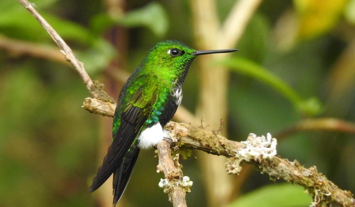 Emerald-bellied Puffleg (C) Avery Bartels
