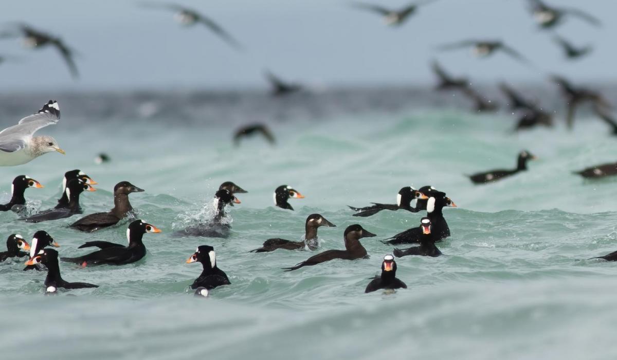 Scoters feeding in the pale blue waters created by Herring spawn. Photo (C) Joachim Bertrands