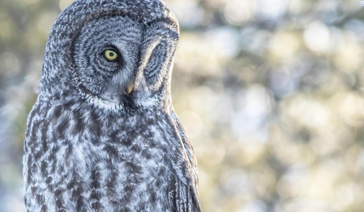 Great Gray Owl. Alberta (C) Joachim Bertrands.