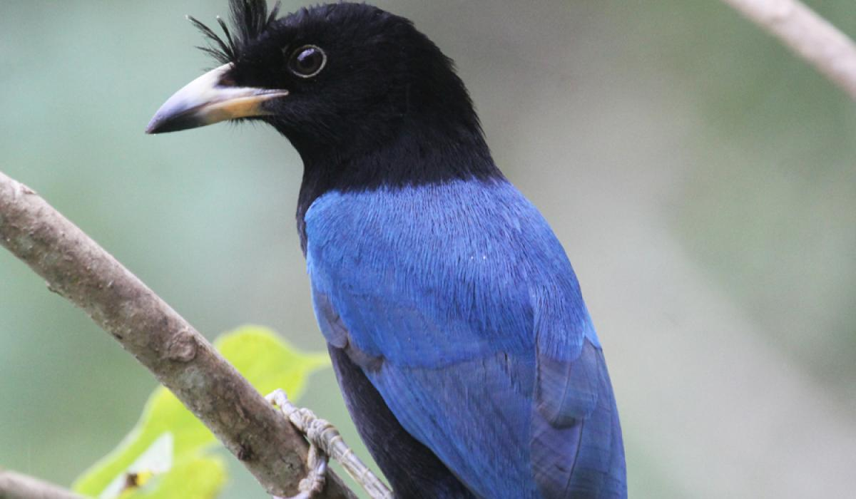 San Blas Jay. Photo: Chris Charlesworth