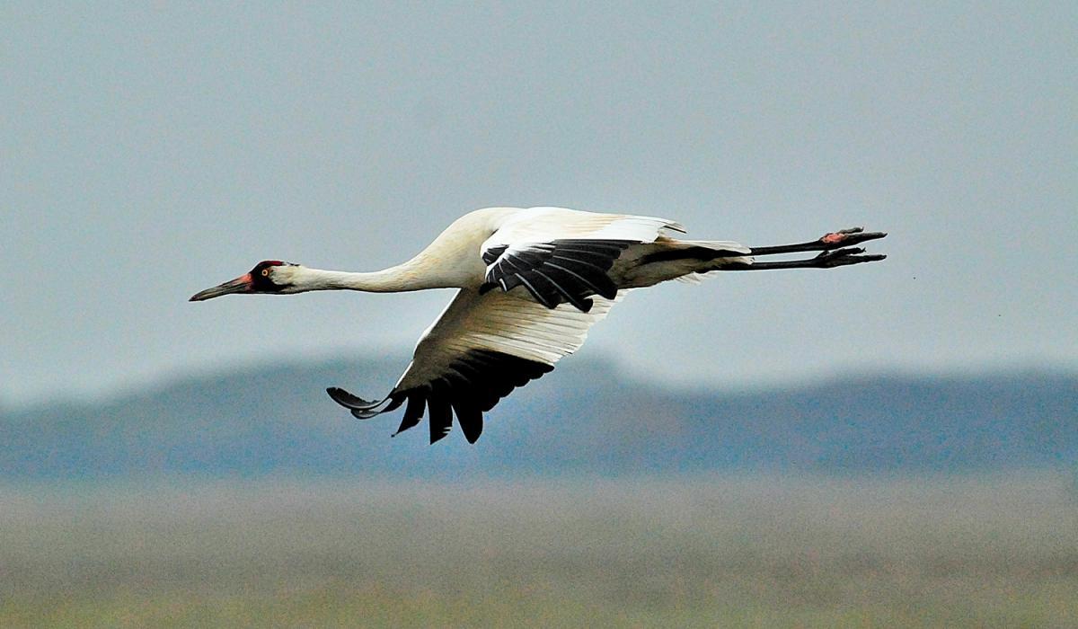 Whooping Crane. Photo Gary Davidson (c)