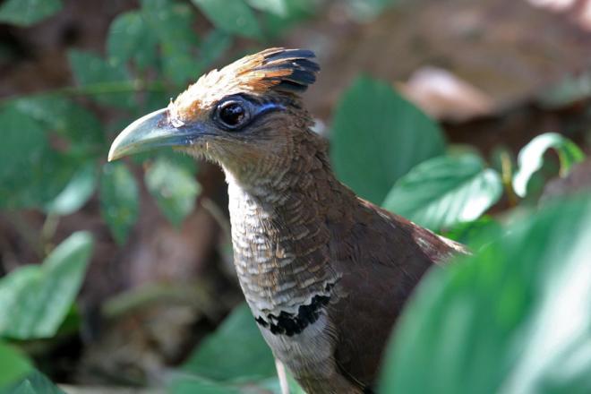 Rufous-vented Ground-cuckoo (C) Chris Charlesworth