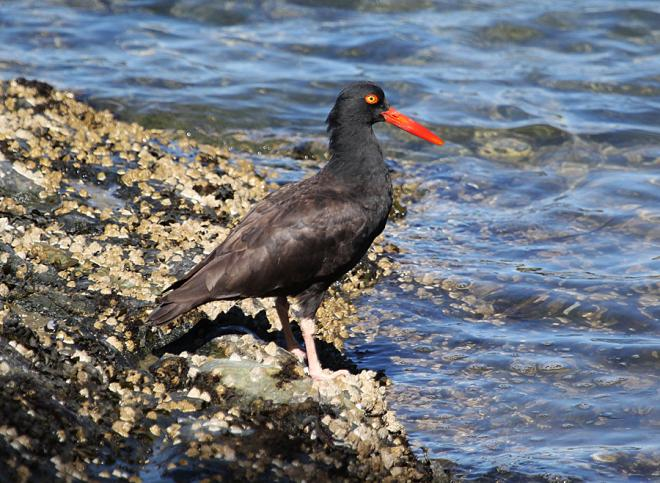Black Oystercatcher. Photo: Chris Charlesworth