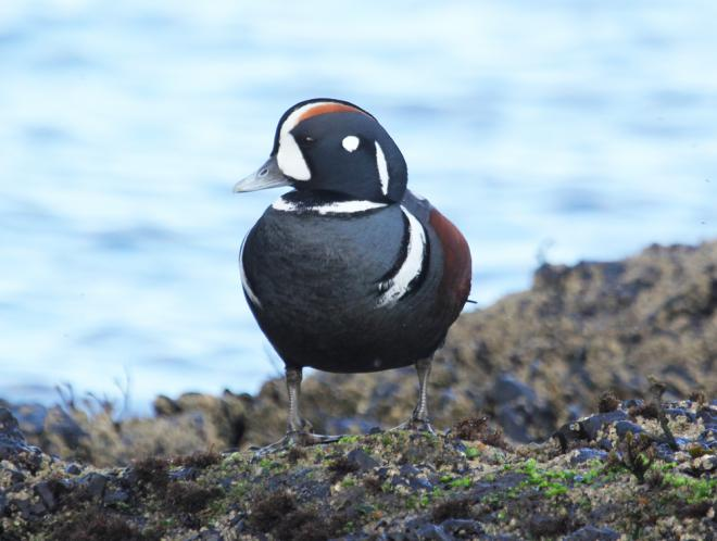 photo of Harlequin Duck