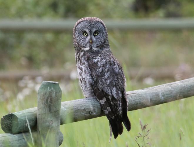 Great Gray Owl. British Columbia (C) 2020 Chris Charlesworth
