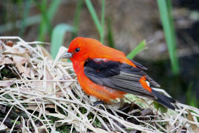 Scarlet Tanager. Point Pelee, Ont. (c) Chris Charlesworth