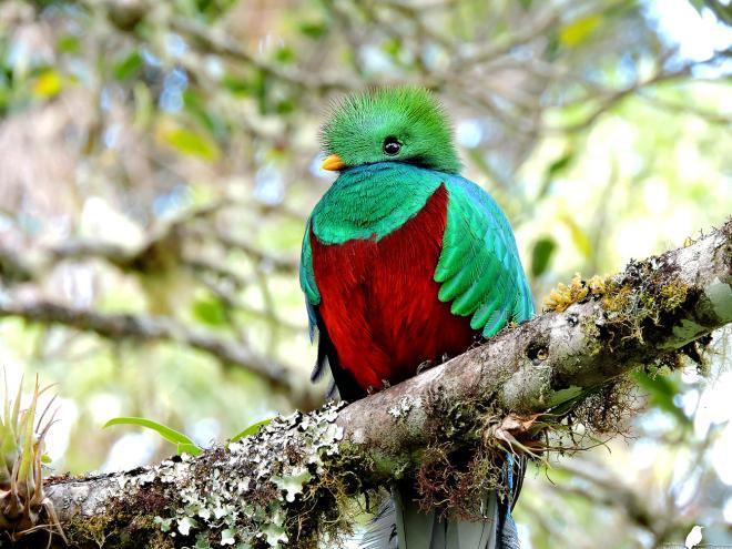 The amazing Resplendent Quetzal. Photo: Diego Quesada